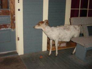 house goat
